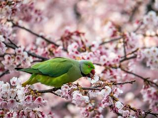 rose ringed parakeet in Japanese sakura tree 43 Fotomurales