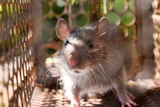 Rat in cage mousetrap   removal of rodents that cause dirt and may be carriers of disease, Mice try to find freedom