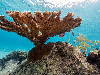 Seascape of coral reef in the Caribbean Sea around Curacao at dive site Playa Kalki with big elkhorn coral