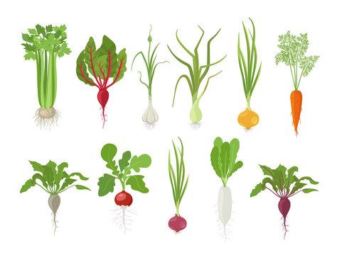 Vegetables harvest plant icon set. Vector farm plants. Popular vegetables set. Carrot beet celery garlic radishes daikon and onion.