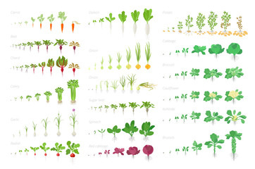 Obraz Vegetables agricultural plant, growth big set animation. Vector infographics showing the progression growing plants. Growth stages planting. Carrots celery cabbage potatoes and many other. - fototapety do salonu