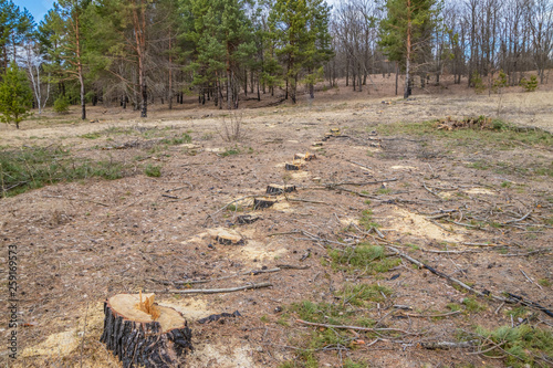 Cutting pine is not legal, vandalism in the pine forest