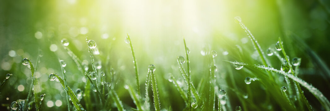 Juicy lush green grass on meadow with drops of water dew in morning light in spring summer outdoors close-up macro, panorama. Beautiful artistic image of purity and freshness of nature, copy space.