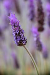 Violet lavender field in Almeria, Spain. Close up lavender flowers