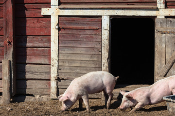 Pigs outside their sty