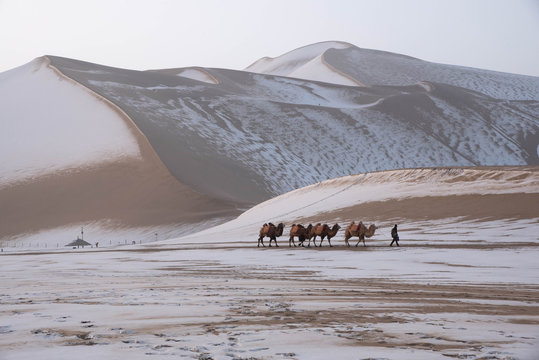 Dunhuang ,  China :  Camel caravan at Gobi desert (Mingsha shan mountaion) . This is a famous place part of silk road in Dunhuang, Gansu, China.