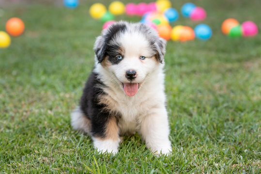 Australian Shepherd puppy dog sitting on green grass with colored balls in the background