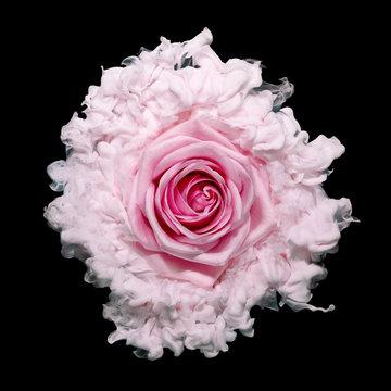 Close up of pink rose against black background