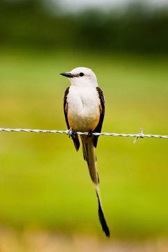 Scissor-tailed Flycatcher Resting on Barb-wire Fence