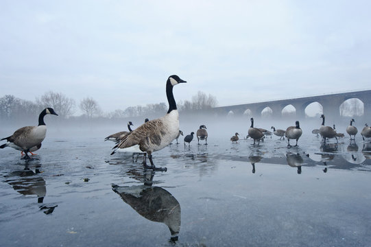 Canada geese standing on frozen lake