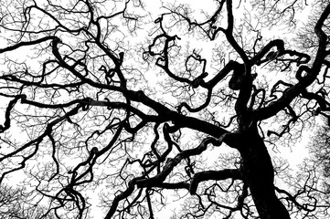 Bare branches of sessile oak tree against sky