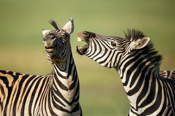 Two zebra fighting at Rietvlei Nature Reserve