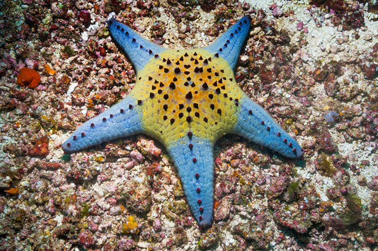 Blue and yellow honeycomb starfish in sea