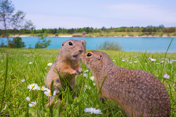 European ground squirrels standing on grassy landscape