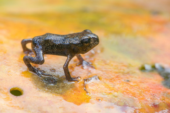 Common frog froglet on water lily pad