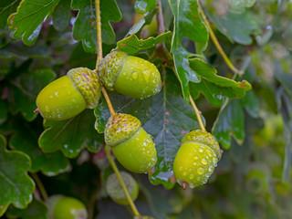 Sessile oak leaves and acorns on tree