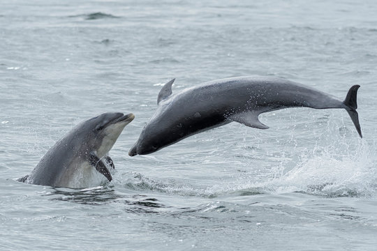 Bottlenose dolphins leaping in sea