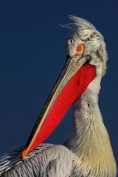 Close up of dalmatian pelican