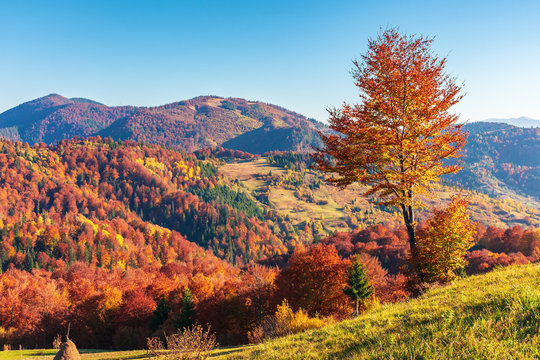 mountainous countryside in autumn. rural fields on grassy hills. trees in fall foliage. wonderful sunny weather in evening. huge lonely tree on the slope