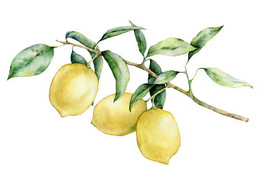 Watercolor lemon branch set. Hand painted lemon fruit on branch isolated on white background. Floral elegant illustration for design, print.