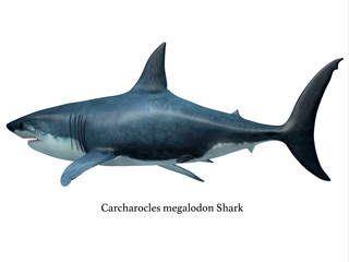 Megalodon Predator Shark Tail with Font - Megalodon was an enormous carnivorous shark that roamed the oceans of the Pleistocene Period.