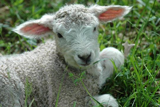 LEICESTER LONGWOOL SHEEP LAMB