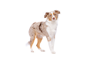 red merle Miniature American Shepherd standing in front of a white background