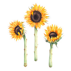 Watercolor botanical illustration of sunflowers.