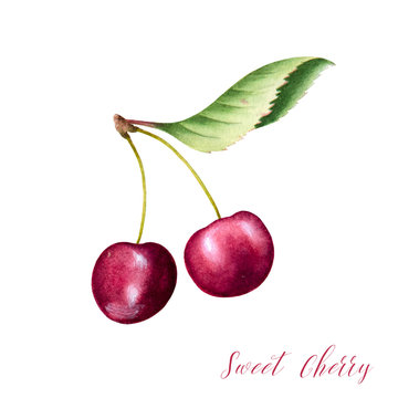 Hand drawn illustration of sweet cherry with leaves. Isolated watercolor fruit sketch.