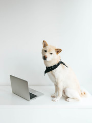 Freelance Shiba Inu Dog sitting on computer desk working away