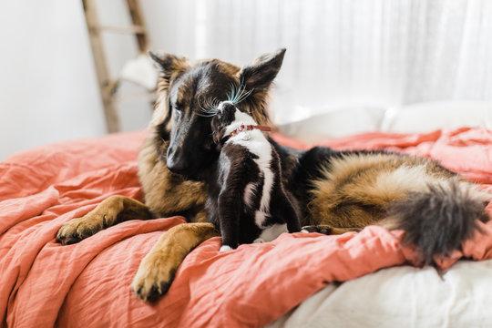 German shepherd and tuxedo kitten