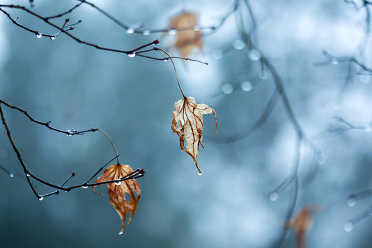 Dry maple leaf with raindrops