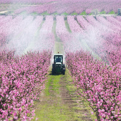 Tractor spraying a field in bloom with chemicals