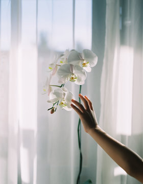 Child's hand touching clean comfortable orchids in sunlight transilluminated window background . shot by 120 films