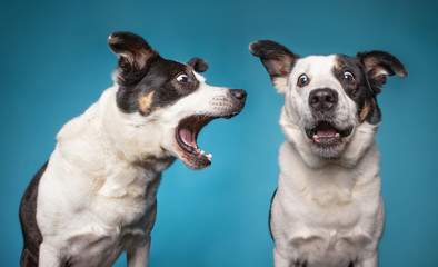 border collie barking with a wide open mouth in a studio shot isolated on a blue background