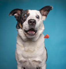 border collie catching a treat with a wide open mouth in a studio shot isolated on a blue background