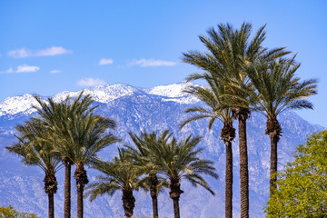 Palm trees and the snow covered San Jacinto mountains, Palm Springs, Coachella Valley, California