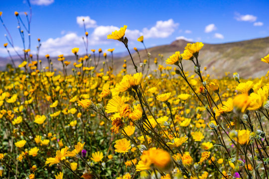 Desert sunflowers (Geraea canescens) blooming in Anza Borrego Desert State Park during a superbloom, south California
