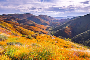Landscape in Walker Canyon during the superbloom, California poppies covering the mountain valleys and ridges, Lake Elsinore, south California
