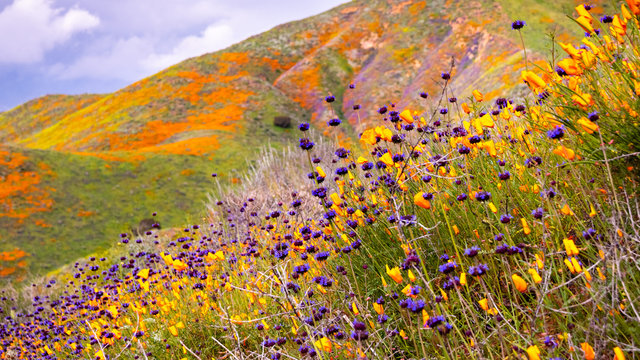 California poppies (Eschscholzia californica) and Chia (Salvia hispanica) blooming on the hills of Walker Canyon during the superbloom, Lake Elsinore, south California