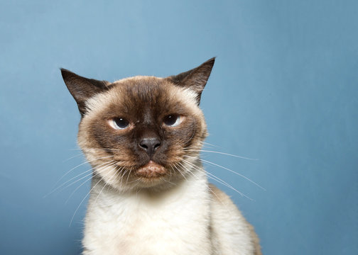 Portrait of a senior Siamese cat, 16 years old, grumpy looking, looking at viewer. Blue background. As of 2017, the domestic cat was the second-most popular pet in the U.S.