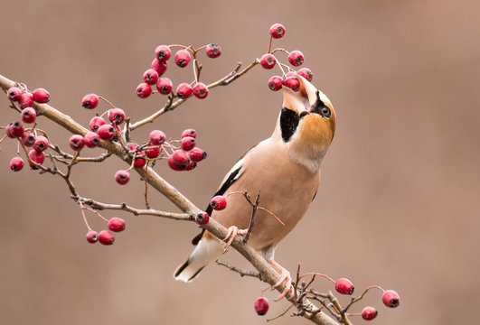 Hawfinch bird sit on stick and eat berries