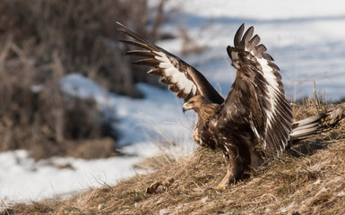 Golden eagle in winter