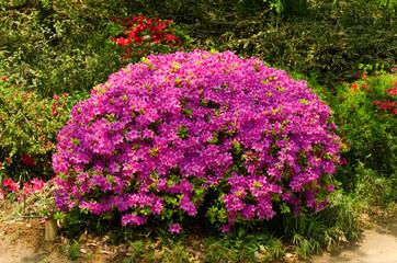 Poster Azalea Rhododendron, Azalee, Garten