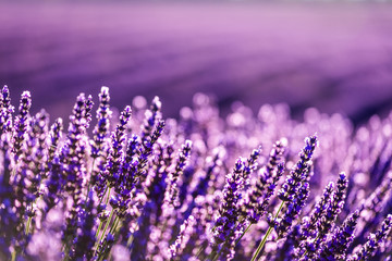 Valensole lavender in Provence, France Wall mural