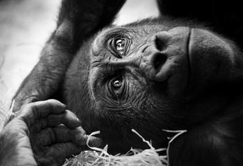 Black and white portrait of a young gorilla male.