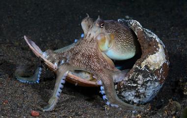 Incredible Underwater World - Coconut octopus - Amphioctopus marginatus. Diving and underwater photography. Tulamben, Bali, Indonesia.