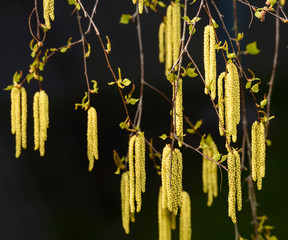 Branch of birch tree Betula pendula, with green leaves and catkins. Tree in morning sunlight.