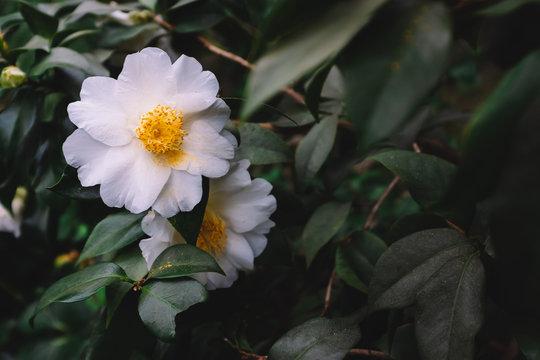 White camellia flowers over dark green leaves