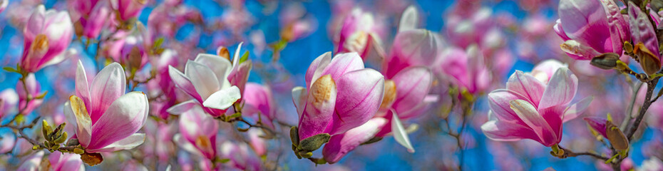 Photo sur Aluminium Magnolia pink magnolia flowers on a flowering magnolia tree